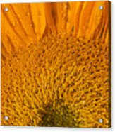 Sunflower In The Morning Dew Acrylic Print