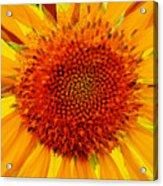 Sunflower In The Sun Acrylic Print