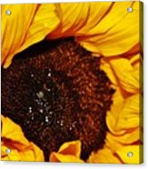 Sunflower In The Sun Acrylic Print