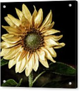 Sunflower Modified Acrylic Print