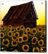 Sunflower Morning With Barn Acrylic Print