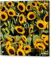 Sunflower Near Van Gogh Museum Acrylic Print