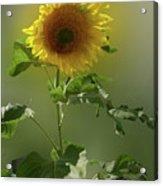 sunflower No. 10 Acrylic Print