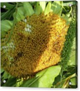 sunflower No.2 Acrylic Print