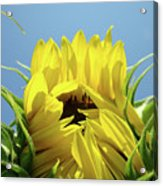 Sunflower Opening Sunny Summer Day 1 Giclee Art Prints Baslee Troutman Acrylic Print