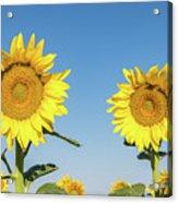 Sunflower Pair Acrylic Print