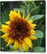 Sunflower Patch Acrylic Print
