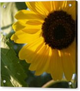 Sunflower Portrait With Leaf Acrylic Print