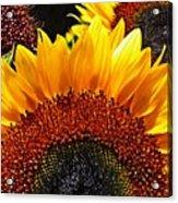 Sunflower Rise Acrylic Print