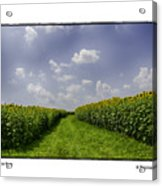 Sunflower Row Acrylic Print