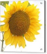 Sunflower Salutation  Acrylic Print