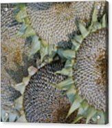 Sunflower Seed Heads Dried To Perfection Acrylic Print
