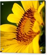 Sunflower Side Light Acrylic Print
