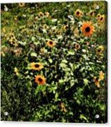 Sunflower Stalks Acrylic Print