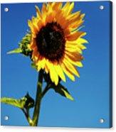Sunflower Stand Alone Acrylic Print