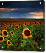 Sunflower Storms Acrylic Print