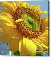 Sunflower Sunlit Sun Flowers 6 Blue Sky Giclee Art Prints Baslee Troutman Acrylic Print