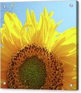 Sunflower Sunlit Sun Flowers Giclee Art Prints Baslee Troutman Acrylic Print