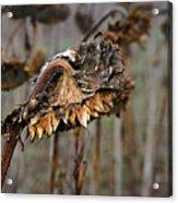 Sunflower Surrender Acrylic Print