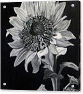 Sunflower Sutra Acrylic Print