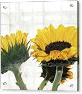 Sunflower Trio Acrylic Print