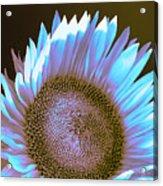 Sunflower Dusk Acrylic Print