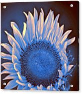 Sunflower Moonlight Acrylic Print