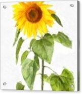 Sunflower Watercolor Acrylic Print