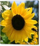 Sunflower With Bee Acrylic Print
