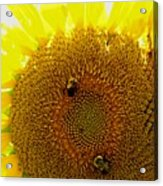 Sunflower With Bees Acrylic Print