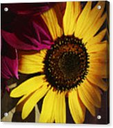 Sunflower With Dahlia Acrylic Print