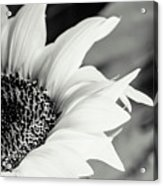 Sunflowers 16 Acrylic Print