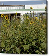 Sunflowers And Abandoned Gas Station Acrylic Print