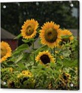 Sunflowers And Red Barn 2 Acrylic Print