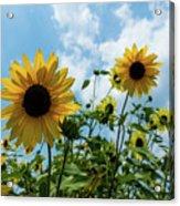 Sunflowers And The Bee Acrylic Print