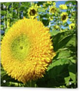 Sunflowers Art Prints Sun Flower Giclee Prints Baslee Troutman Acrylic Print