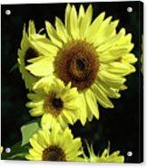 Sunflowers Art Yellow Sun Flowers Giclee Prints Baslee Troutman  Acrylic Print