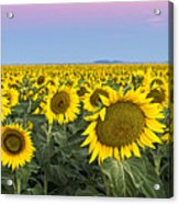 Sunflowers At Sunrise Acrylic Print