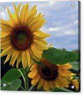 Sunflowers Close Up Acrylic Print