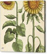 Sunflowers Illustration From Florilegium Acrylic Print