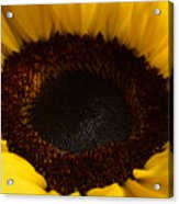 Sunflowers - Helianthus Acrylic Print
