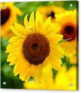 Sunflowers I Acrylic Print