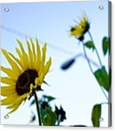 Sunflowers In Fall Acrylic Print