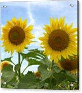 Sunflowers In Texas Summertime 1 Acrylic Print