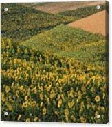 Sunflowers In The Palouse Acrylic Print