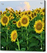 Sunflowers In The Sky Acrylic Print