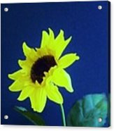 Sunflowers Look To The Sun Acrylic Print