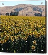 Sunflowers Of Vacaville Acrylic Print