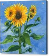 Sunflowers On Bauer Farm Acrylic Print