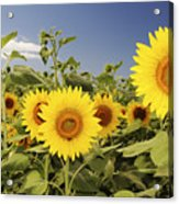 Sunflowers On North Shore Acrylic Print by Vince Cavataio - Printscapes
